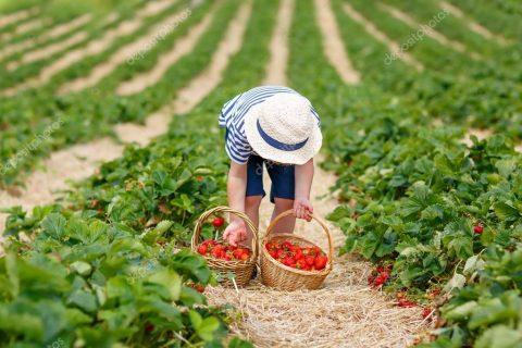 Поляки й українці вже не бажають працювати на збиранні овочів та фруктів