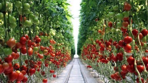 Сбор помидоров в теплице. Под Варшавой
