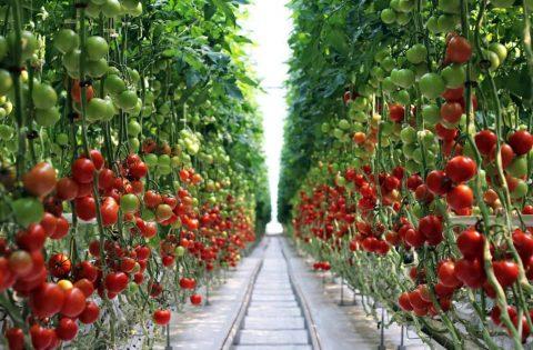 Сбор помидоров в теплице.