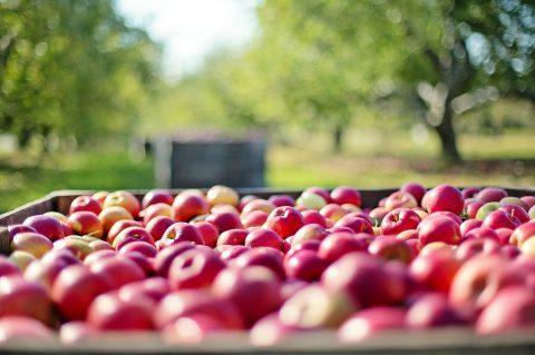Без працівників з України збір яблук в Польщі під загрозою зриву